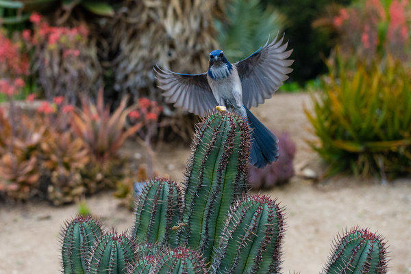 A western scrub jay lands on a cactus at the Los Angeles County Arboretum & Botanic Gardens.