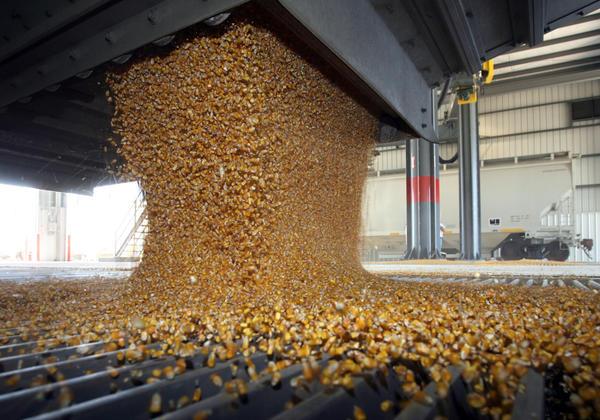 A semi trailer load of corn falls into the bin as it is unloaded Friday at Aberdeen Energy, LLC, just west of Mina. photo by john davis taken 7/11/2008