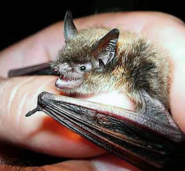 This handsome fellow is shown being held in 2010 by a researcher at the Old Durham Iron Mine in Bucks County, where huge populations of bats have been all but wiped out.