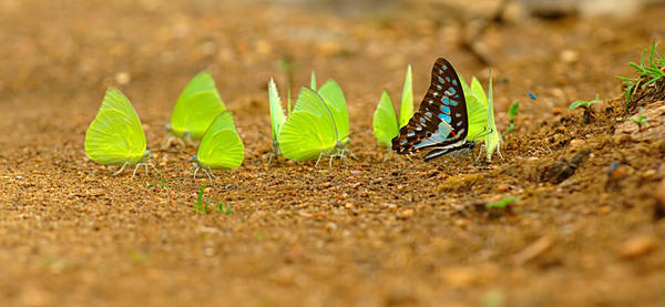 Butterflies congregate over moist soil to pull nutrients into their diets.