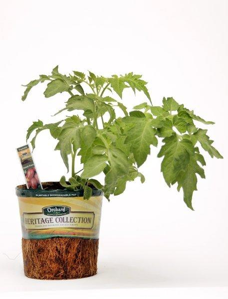 Orchard Supply Hardware enters the tomato derby with Amish Paste heirlooms sold in biodegradable pots made of coir, the fiber of coconut husks. The entire pot can be placed in the ground. The tomato dates to the 1870s and gets its name from the community that originally planted it. Amish Paste yields a lot of fruit that's good to eat fresh or to use in cooking, the store says.