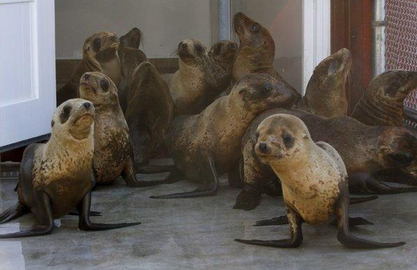 Juvenile sea lions at the Pacific Marine Mammal Center in Laguna Beach.