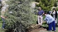 City officials celebrated Arbor Day this week by planting a deodar cedar, a species whose place on a list of protected trees La Cañada Flintridge officials currently are debating.