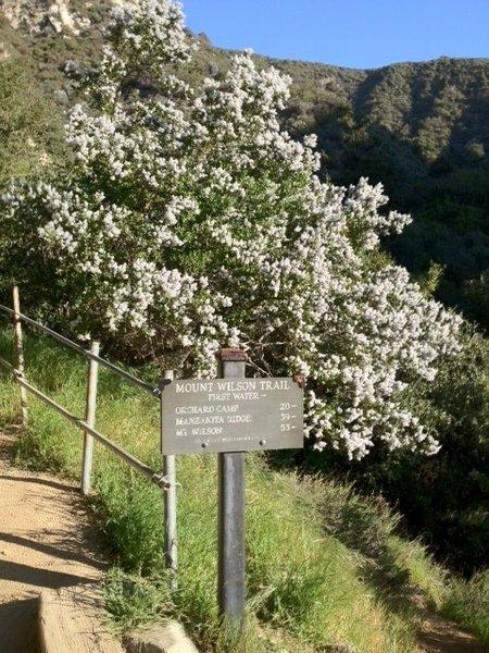Ceanothus shrubs blooming along the Mount Wilson Trail above Sierra Madre.