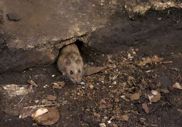 The so-called second-generation rodenticides that have been developed in recent years leave high concentrations of toxins in the bodies of rodents, which renders their carcasses poisonous to pets, birds of prey and other animals that eat them.