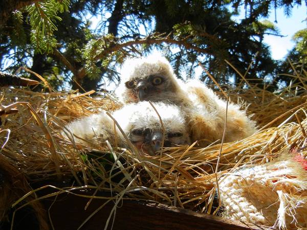 Two baby owls sit in their new nest in a pine tree in Lisle on Tuesday. Curt and Kate Petersen, whose yard is home to the pine, helped rescue the birds and replace their nest with something more sturdy.