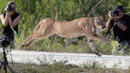 Florida Wildfire Biologists Release Panther Into The Wild