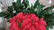 Poinsettia Care Time