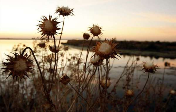 Dried thistles line a levee along the Sacramento River Deep Water Ship Channel in the Sacramento-San Joaquin River Delta. The 19th century levee system allows farmers to cultivate about 500,000 acres of the delta, which was originally a tidal marsh.