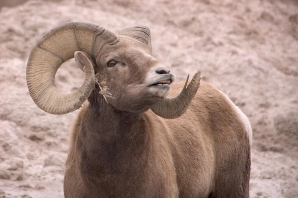 South Dakotas bighorn sheep herds in the Black Hills will receive a boost from an auction tag which recently sold for $102,000.
