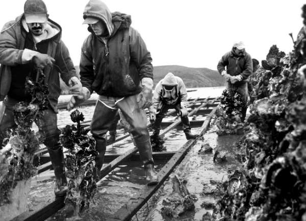Workers harvest oysters from Drakes Estero in Point Reyes National Seashore in Marin County.