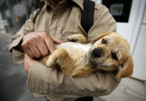 A 3-month-old Chihuahua mix cradled by a possible adopter at the new South Los Angeles Animal Services Chesterfield Square facility.