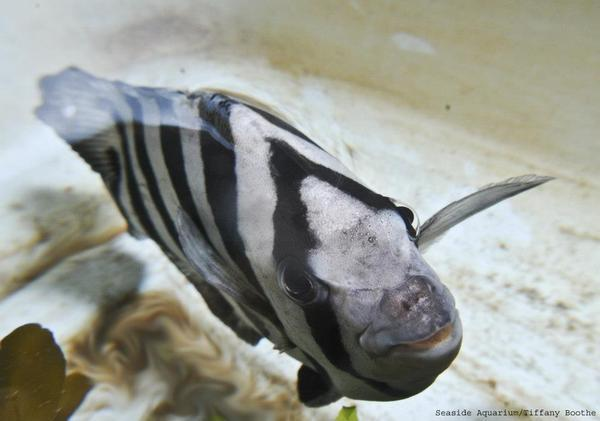 This striped beakfish hitched a ride on a boat that was set adrift in the 2011 Japan tsunami and washed ashore in Washington state. It is in the Seaside Aquarium in Seaside, Ore.