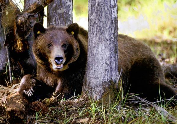 Bears are among animals that often end up as roadkill in Montana, according to state Department of Transportation records. New legislation would allow people to salvage meat from certain roadkill carcasses.