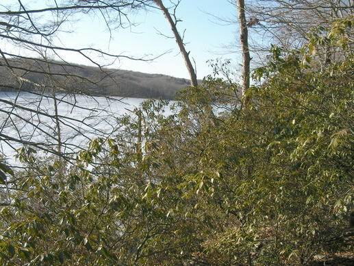 A grove of mountain laurel overlooks the beaver pond at the 96-acre Sheepskin Hollow Preserve in East Haddam.