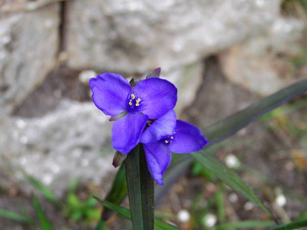 Although the short-lived three-petal blue flowers of spiderwort only last a morning, by the next day new blooms have taken their place.