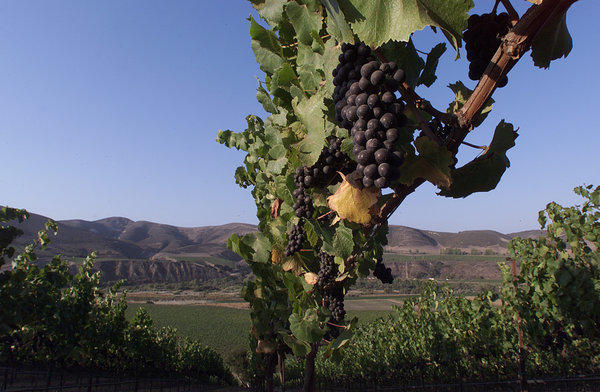 Pinot Noir grapes ripen at a vineyard overlooking the Santa Rita Hills in Santa Barbara County.