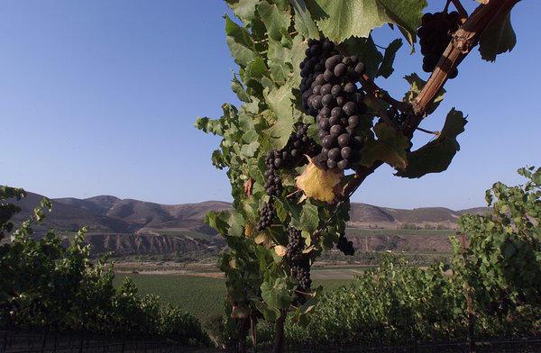 Pinot Noir grapes ripen at a vineyard overlooking the Santa Rita Hills in Santa Barbara County.