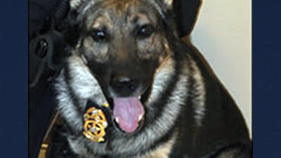 Somerset Borough Police K-9 Arny wearing a badge. Arny joined the police force in 2005. His handler is Officer Brian Harbart.
