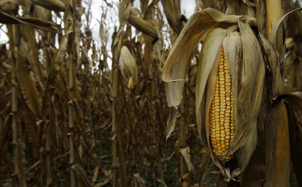 An ear of drought-stricken corn in seen in Maryland in an October file photo.