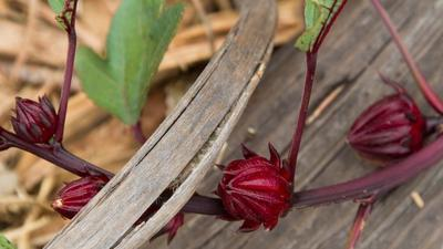 Roselle: Plant now for hibiscus tea flowers later