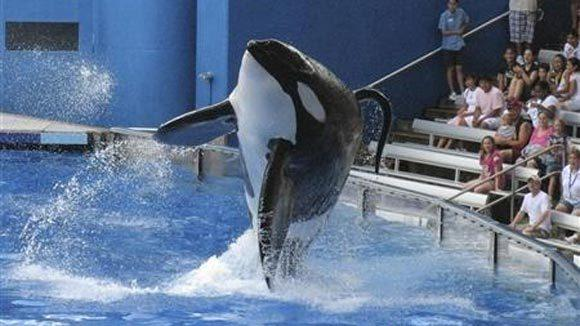 """Tillikum, a killer whale at SeaWorld amusement park, performs during the show """"Believe"""" in Orlando in 2009."""