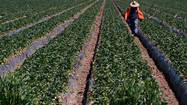 WASHINGTON — Senate negotiations to overhaul the nation's immigration laws have stumbled over the hiring of half a million migrant farmworkers each year — an issue that is crucial for California's vast agricultural industry, which employs more farm labor than any other state.