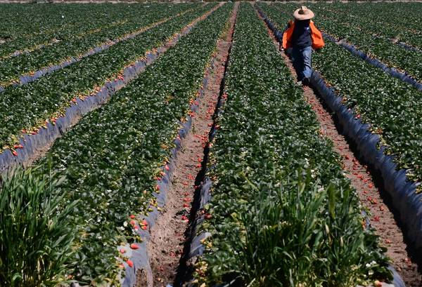 One of many migrant workers taking part in the strawberry harvest last month at a farm near Oxnard.