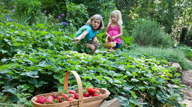 Strawberries: Patch of pot of plants perfect way to get kids into gardening and good eats