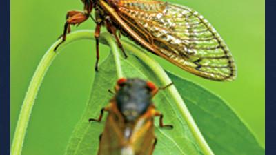 Adult cicadas