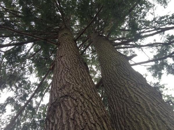 The double trunks of the state's second largest eastern hemlock reach toward the sky.