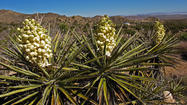 Extensive stands of Joshua Tree National Park's peculiar namesake plants are festooned with clumps of white and yellow flowers that are drawing tourists eager to take in the scenery before the bloom wilts in the harsh desert sun.