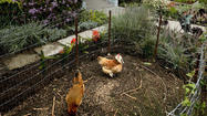 Garden is her canvas, flowers and edibles (and chickens) her paint
