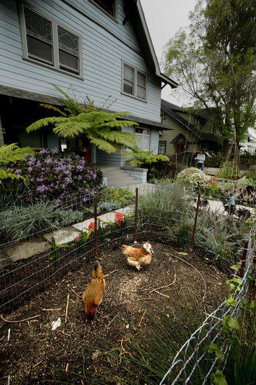 Julie Burleigh says the chickens in her West Adams garden are happier and producing more since she installed a chicken run connecting the front and backyard.