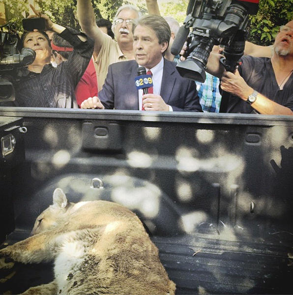 News crews watch as a mountain lion is tranquilized and taken from a La Crescenta backyard on Thursday, April 11, 2013.