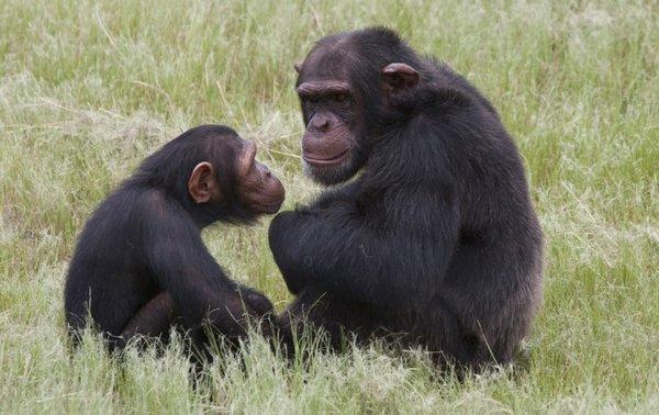 Chimpanzees, which have been known to forage for herbs to treat their illnesses, aren't the only animals self-medicating.