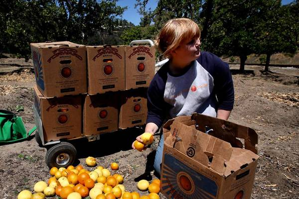 Brenna Lyons, 28, of Studio City, a volunteer with the nonprofit group Food Forward, picks oranges at the grove at the southern end of Franklin Canyon Park. It's one of Los Angeles' last orange groves and, thanks to a partnership between the city and a high-tech entrepreneur, will continue to help feed the needy.