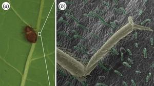 'Ancient scourge' no more? Bed bugs thwarted by bean leaves in study