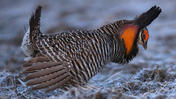 Mating ritual of the greater prairie chicken