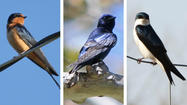 Spring birds are arriving in Connecticut. Eastern phoebes returned recently, and before the end of April we'll be seeing and hearing barn swallows, tree swallows and purple martins.