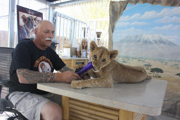 Lion Habitat Ranch owner Keith Evans plays with a cub as they wait for visitors near Las Vegas.