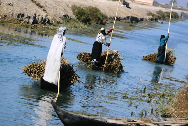 Marsh Arabs steer reed-laden canoes in the marshes of southern Iraq.