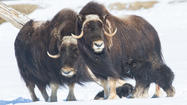 Two spectacular births took place Sunday morning at the Alaska Wildlife Conservation Center. Two pregnant musk oxen cows went into labor around 6 a.m. and calved at the same time.