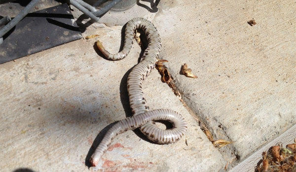 Since August, 11 rattlesnakes have been found on or near the West Ranch baseball diamond.