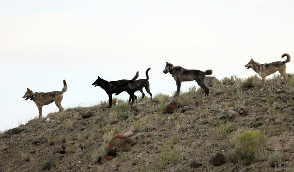 The Lamar Canyon wolf pack on a hillside in Yellowstone National Park. The pack's alpha female was killed by hunters last year when she wandered outside park boundaries.