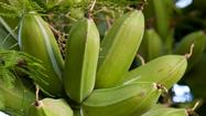 Growing plantains in the home garden