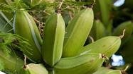 Grow your own plantains, tropical cousin of the banana