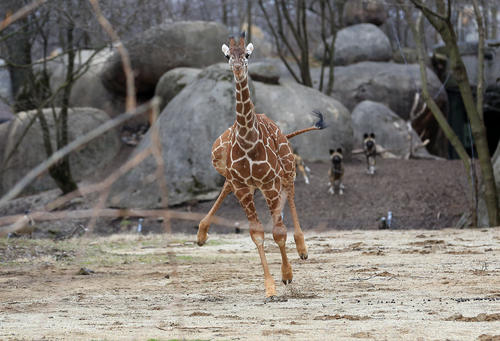 Dave, a 5-month-old giraffe calf, takes off running startled by a goose in the Habitat Africa exhibit at the Brookfield Zoo, on April 15, 2013.