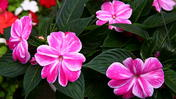 Impatiens plants affected by disease