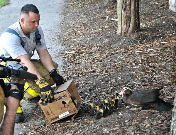 Broward Sheriffs Fire Rescue saves a dozen ducklings that went down the drain